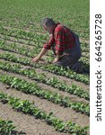 Small photo of Farmer or agronomist examining soybean plant in field, spring time