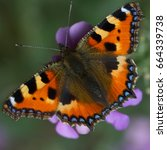 Small photo of Absolutely pristine Small Tortoiseshell butterfly (Aglais urticae) on a wallflower