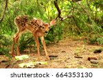 Cute Baby White Tailed Deer ...