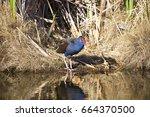 Purple Swamp Hen Porphyria...