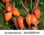 Big Group Cacao Pods Hang On...