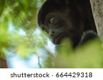 Small photo of Mantled howler (Alouatta palliata). Golden mantled howling monkey on the tree.