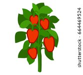 homegrown ripe red bell peppers ... | Shutterstock .eps vector #664469524