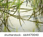 rice fields in rainy season   Shutterstock . vector #664470040