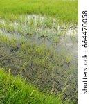 rice fields in rainy season   Shutterstock . vector #664470058