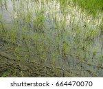 rice fields in rainy season   Shutterstock . vector #664470070
