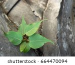 leaves on the stub of sugar...   Shutterstock . vector #664470094