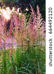 Long Pink Weed With Its Seed I...