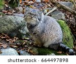 Small photo of Pallas's cat. Manul.