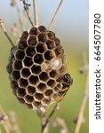 a macro of a field wasp... | Shutterstock . vector #664507780