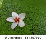 Plumeria Flower Float On The...