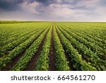agricultural soy plantation on ... | Shutterstock . vector #664561270
