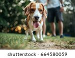 portrait of a cute beagle... | Shutterstock . vector #664580059