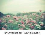 blur and soft  cosmos flowers... | Shutterstock . vector #664585354