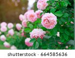background of rose bushes | Shutterstock . vector #664585636
