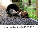 Stock photo white rabbit in a pot is kissing brown white rabbit in the park love forever 664589116
