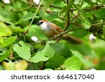 Small photo of Babblers, Scimitar Babblers : Timaliidae.the small red head bird on the green tree background in Thailand,Chestnut-capped Babbler.