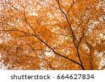 beautiful mepla leaf in japan    Shutterstock . vector #664627834