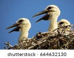 white stork  ciconia ciconia ...   Shutterstock . vector #664632130