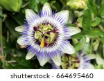 Close Up Of Passion Fruit...