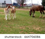 Clydesdale Foals With Mother ...