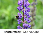 Lupin And Bee Drink Nectar