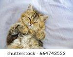 persian kitty cat sleeping in... | Shutterstock . vector #664743523