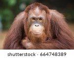 Portrait Smiling Orangutans Si...