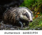 badger in forest creek.... | Shutterstock . vector #664831954