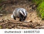 badger in forest creek.... | Shutterstock . vector #664835710