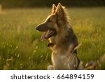 german shepherd in golden field ... | Shutterstock . vector #664894159