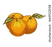 orange fruits sketch. vector... | Shutterstock .eps vector #664922038