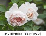 Stock photo english rose mary rose 664949194
