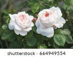 Stock photo english rose st swithun rose 664949554