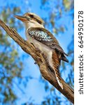 Kookaburra On Tree Limb