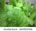 close up lettuce leaf lettuce... | Shutterstock . vector #664962466
