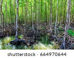 mangrove trees in forest at can ... | Shutterstock . vector #664970644