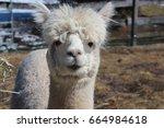 White Alpaca Looking Straight...