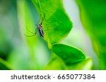 mosquitoes  dengue fever ... | Shutterstock . vector #665077384