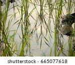 rice field on rainy season   Shutterstock . vector #665077618