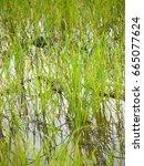 rice field on rainy season   Shutterstock . vector #665077624