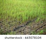 rice field on karnchanaburi  ...   Shutterstock . vector #665078104