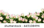beautiful white and pink rose... | Shutterstock . vector #665108494