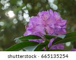 amazing rhododendron flowers.... | Shutterstock . vector #665135254