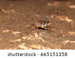Small photo of Rhaphidophoridae in the nature