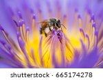 closeup bee looking for honey...   Shutterstock . vector #665174278