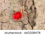 Red Velvet Mite  Trombidium Sp.