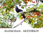 Small photo of Closed up Adult female Rufous-necked hornbill ( Aceros nipalensis) sit on the branch in the nature, Chong Yen, Mae Wong National Park, Northern of Thailand