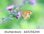 Thistle Flowers And Meadow Brown