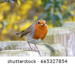 robin enjoys a meal worm during ... | Shutterstock . vector #665327854